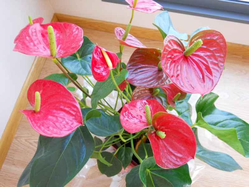 foto de anturio en flor
