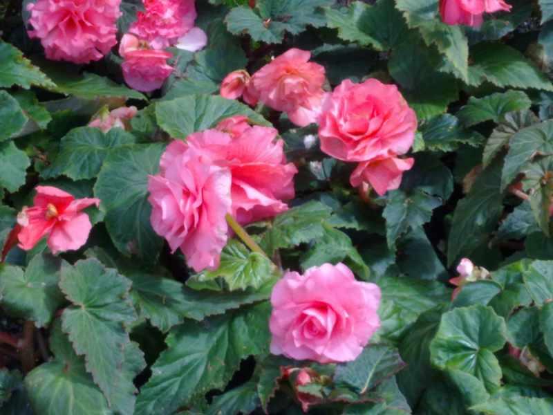 Begonia de flores rosas