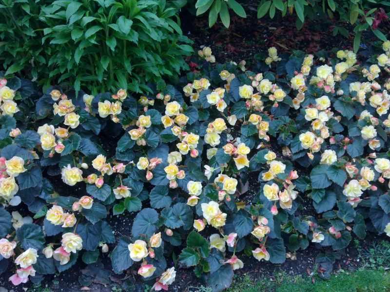 foto begonia con flor de color original