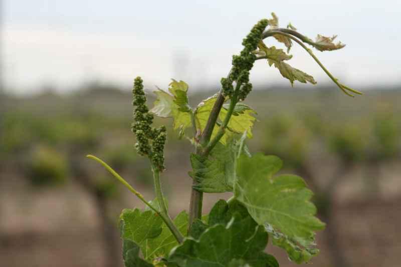 Brotación primeros racimos de uva en primavera