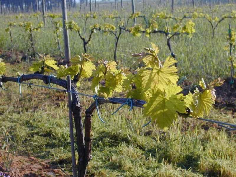 Brotación viñas en primavera