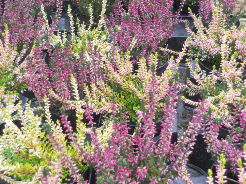 Calluna vulgaris o brezo