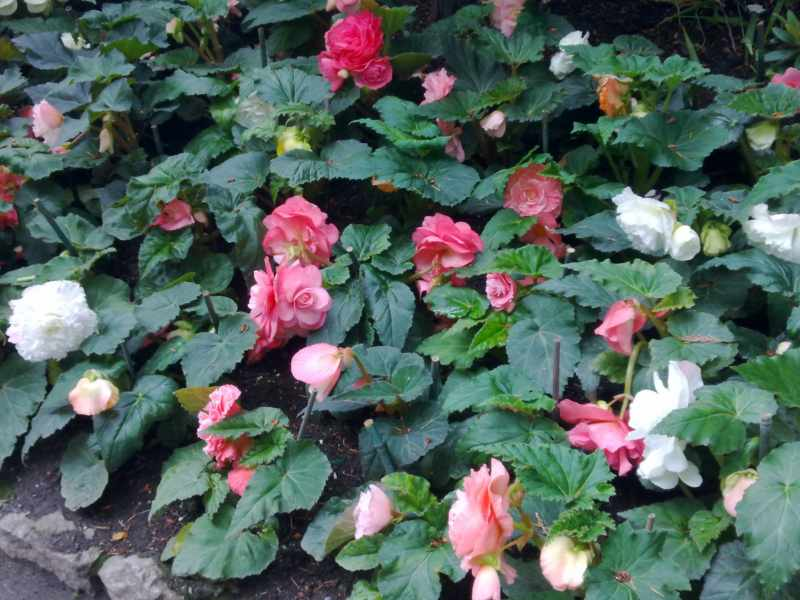 combinacion de begonias blancas y rosas