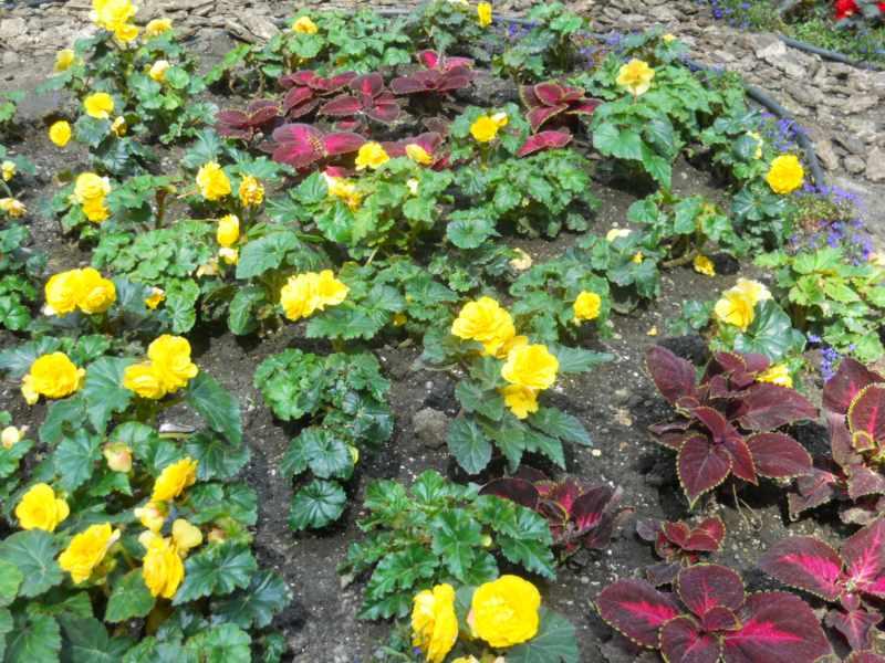 composicion con begonias de flor amarilla