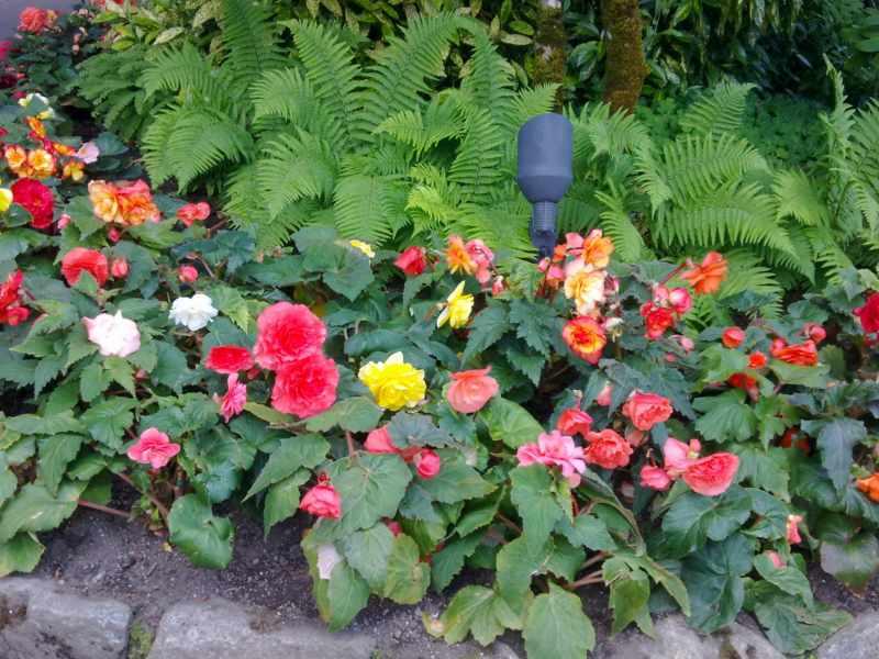 composicion vegetal usando begonias de colores