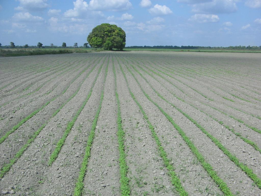 ¿Cómo se clasifican los cultivos?