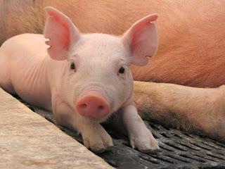 La importancia del calostro en la producción porcina
