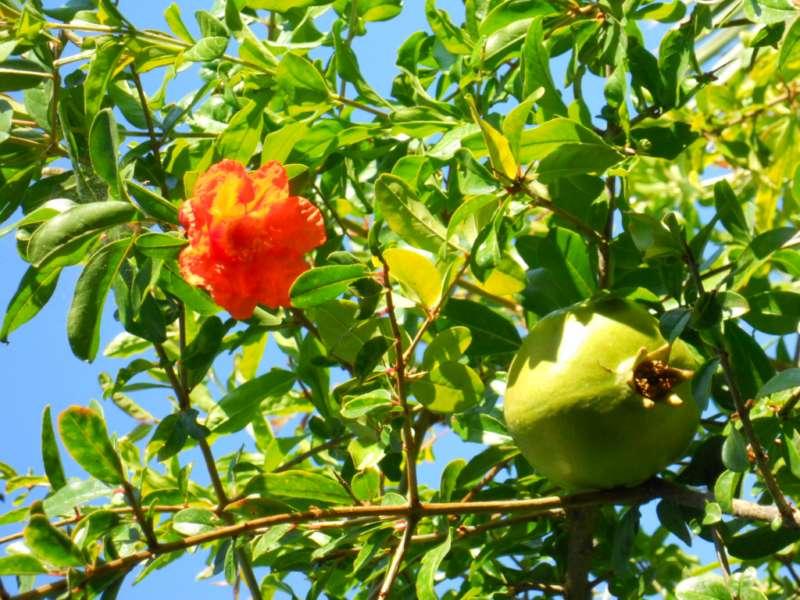 foto de granado con flores y granadas