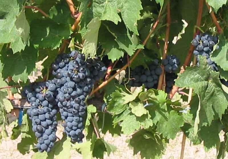 Uvas tempranillo o tinta del país en ribera de duero