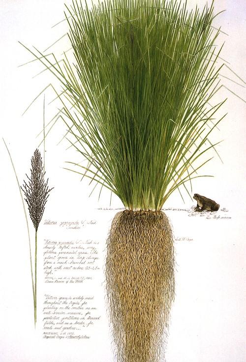 El pasto vetiver: una planta para el control de la erosión y la protección ambiental