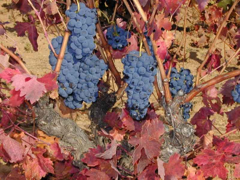 Viña cargada de racimos de uva tempranillo antes de la vendimia