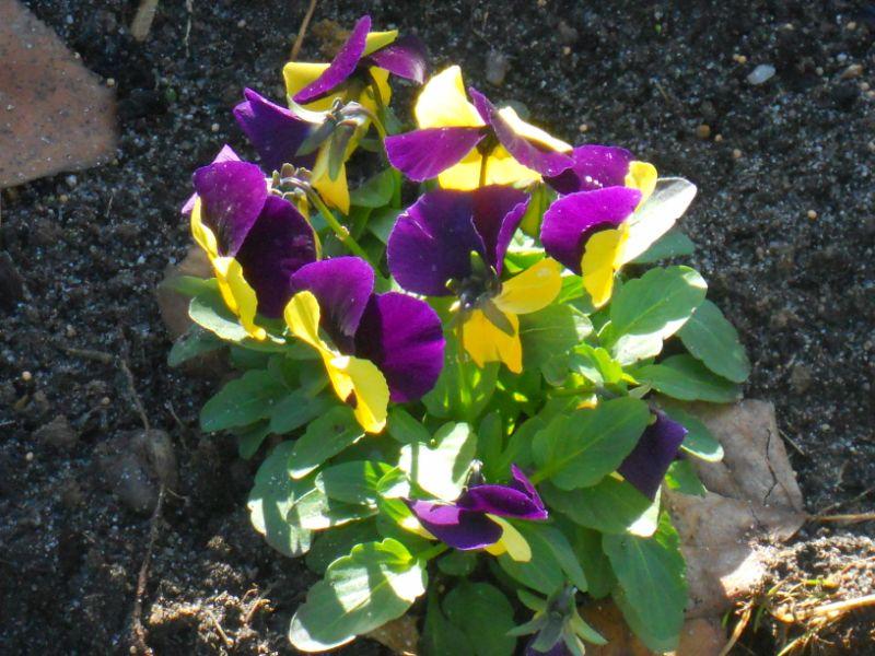 Viola tricolor o pensamiento