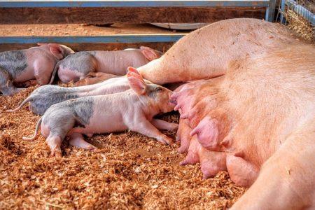 La información: una herramienta que no se debe descuidar en la producción porcina