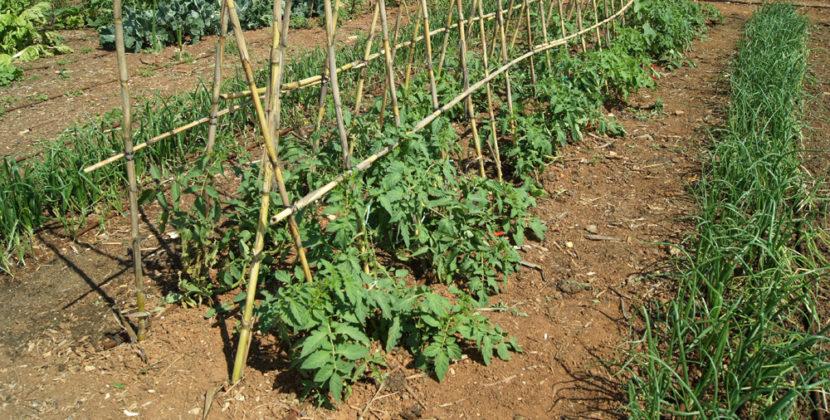 Huerto de tomates