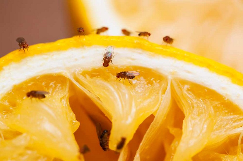 plaga de moscas en la fruta