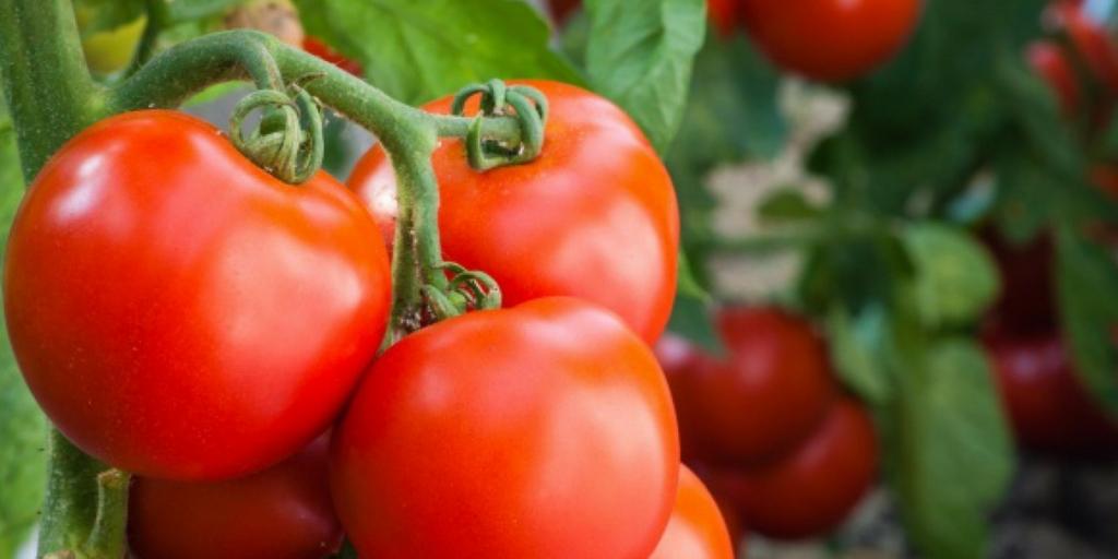 Factores que afectan el sabor del tomate