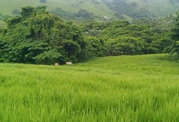 Pasto mejorado no garantía su consumo, especies de pastos mejorados, renovación de praderas, ganado laboratorio de pastos, ganado evaluador de pastos, pastos de moda, pastos mejorados, pastos nativos, manejo de potreros, manejo racional de pastoreo, CONtexto ganadero, ganaderos Colombia