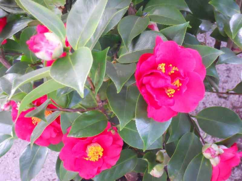 foto camelia japonica de flor semidoble