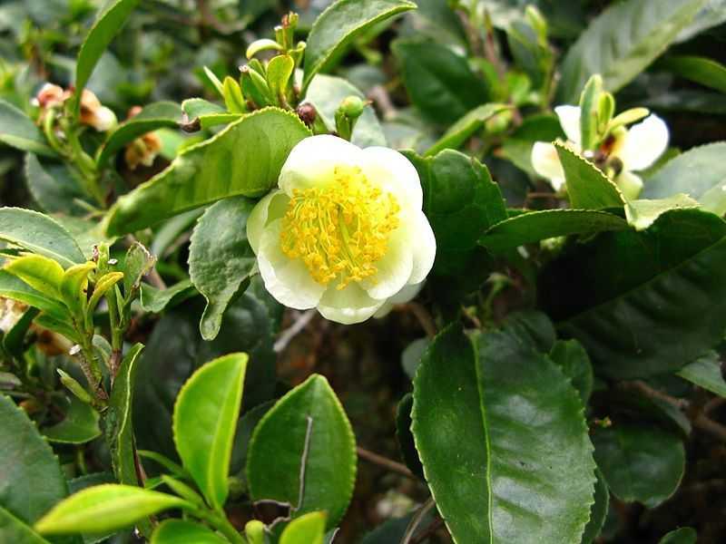 camelia sinensis o planta del te en flor