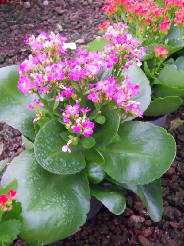 foto de kalanchoe en flor