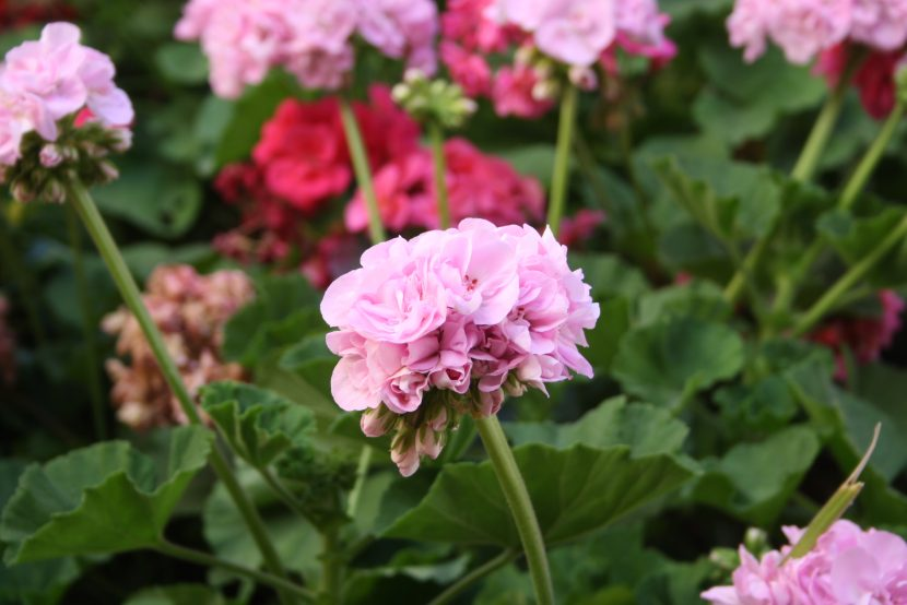 Geranios en floración