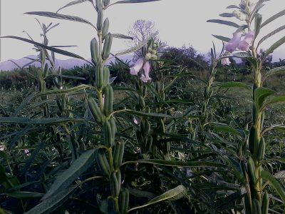 El cultivo del ajonjolí: consideraciones generales y agronómicas