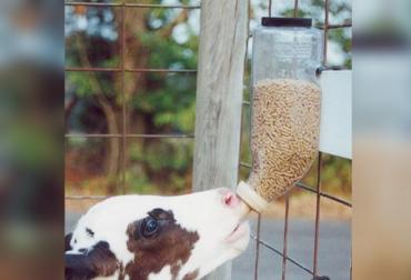 botella braden para terneros, dosificador de concentrado para terneros, dispensador de alimentos sólidos, alimentación de terneros, manejo de terneros, CONtexto ganadero