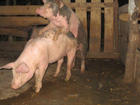 ¿Tiene importancia el intervalo destete – primer servicio en la granja porcina?