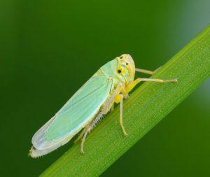 Manejo de plagas y enfermedades en caña de azúcar (Saccharum spp. híbrido)