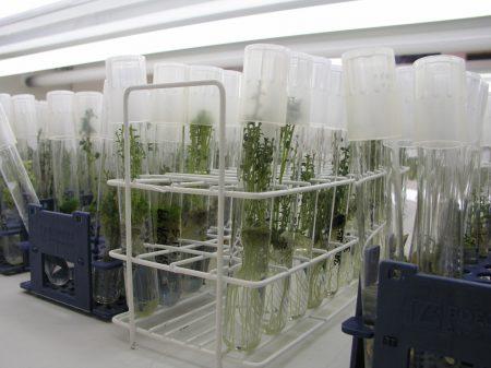 La propagación in vitro de plantas para la horticultura