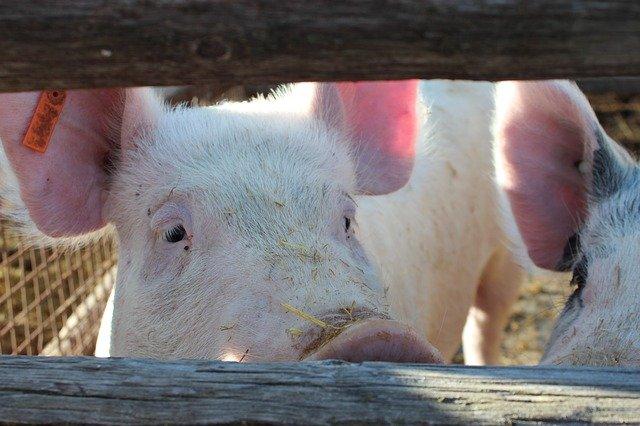 ¿Por qué mis cerdos no logran el peso en la edad establecida?