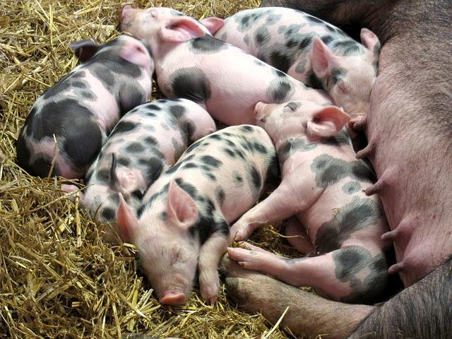 Apuntes sobre el manejo de la granja porcina