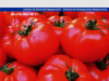 Manual del cultivo de Tomate al Aire Libre
