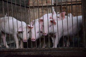 Clasificacion de las explotaciones porcinas