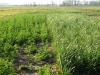 Principios y prácticas para el uso de cultivos de cobertura en el manejo de sistemas de malezas