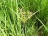 Como identificar malezas: Las estructuras de la planta son la clave