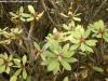 Cuidados de la planta Euphorbia balsamifera o Tabaiba dulce