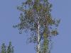 ¿Cuáles son las características del Populus tremula?