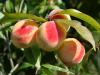 El árbol de melocotón, una planta de huerto extraordinaria