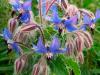 ¿Cuáles son las características y los usos de la Borago officinalis?