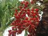 ¿Cuáles son los usos del fruto de la palmera?