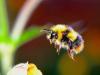 La vida urbana deja huellas en el genoma de los abejorros