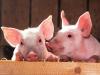 Sanidad porcina: nuevas dietas reemplazan antibióticos