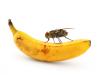 ¿Por qué aparecen las moscas en la fruta?
