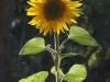 Cultivo de girasol: Características principales