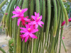 ¿Existen los cactus colgantes?