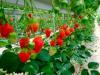 Cultivo y cuidados de la fresa