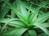 ¿Cuándo plantar Aloe vera en el jardín?