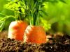 Cómo cultivar zanahorias en casa con y sin semillas