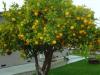Cultivo de limon